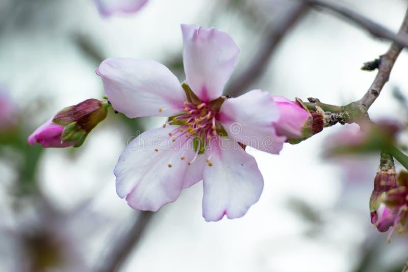 Een simglebloem van een prachtig tot bloei komende amandelboom Close-up kleine witte roze bloemen met gele stamens en bladeren va stock fotografie