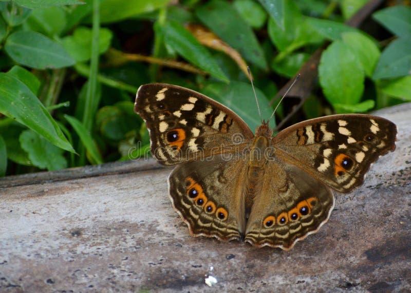Een sinaasappel doted bruine vlinder royalty-vrije stock fotografie