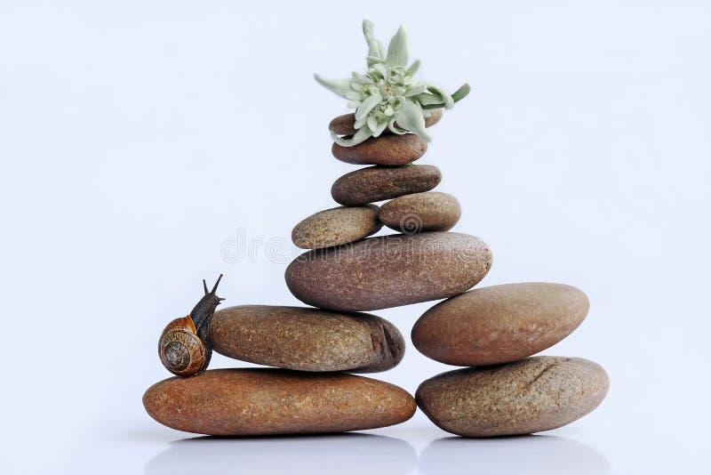 Een slak wil een berg van stenen beklimmen om aan het Edelweiss te krijgen stock afbeelding