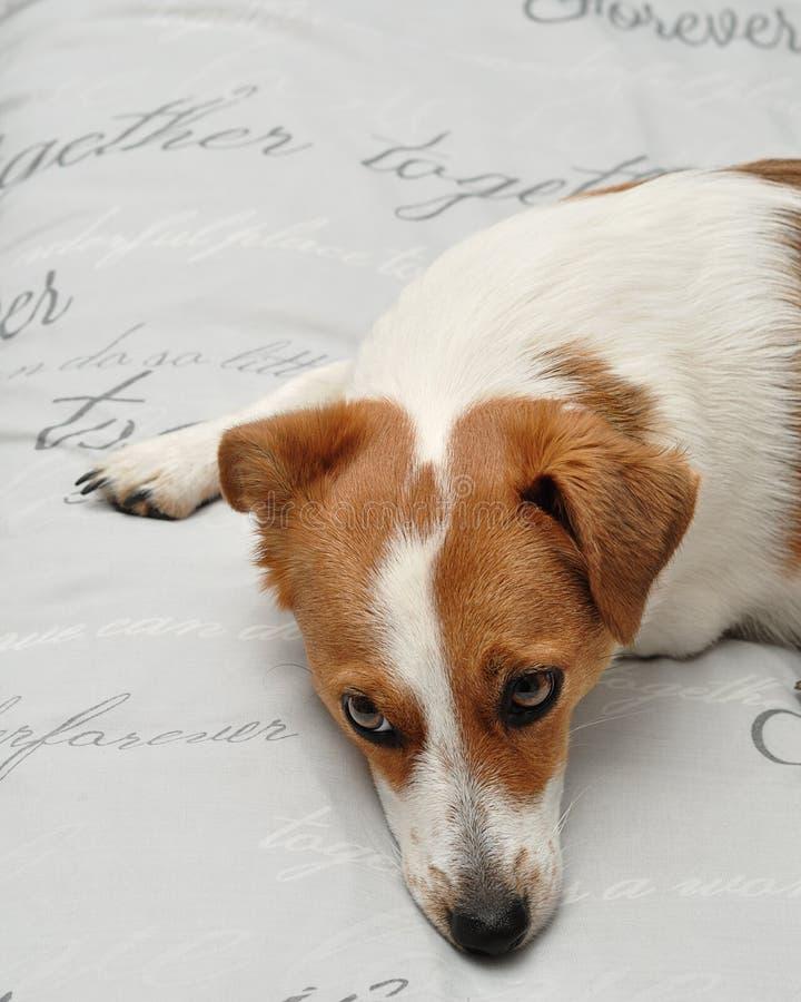 Een slaperig Jack Russell-puppy royalty-vrije stock fotografie