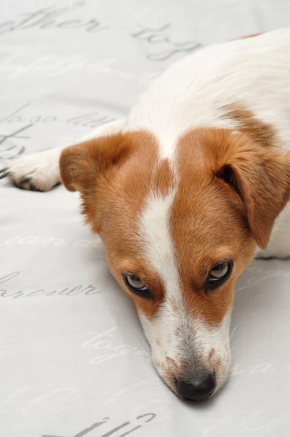 Een slaperig Jack Russell-puppy royalty-vrije stock afbeeldingen