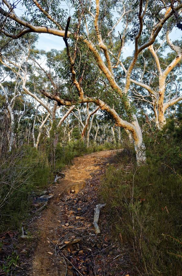 Een sleep op een heuvel door Eucalyptusbomen wordt opgesteld in de Australische struik die royalty-vrije stock fotografie