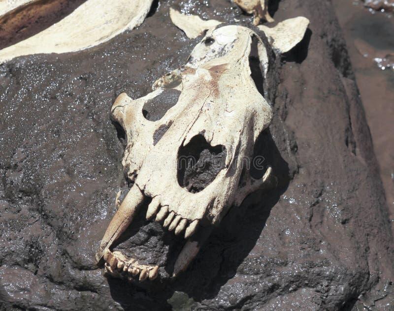 Een Smilodon-Schedel in een Teerkuil die wordt blootgesteld stock afbeelding