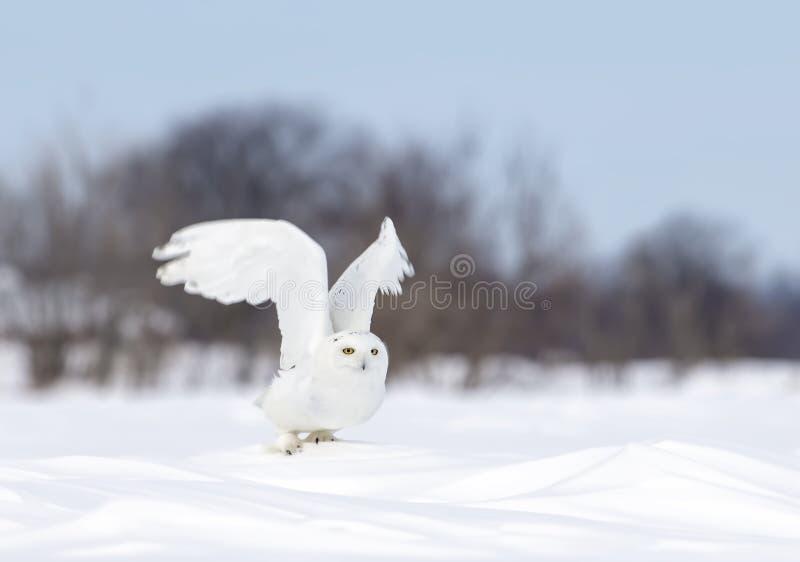 Een Sneeuwuil klaar om de lage jacht over open zonnige sneeuwcornfield in Ottawa, Canada op te stijgen en te vliegen stock afbeelding