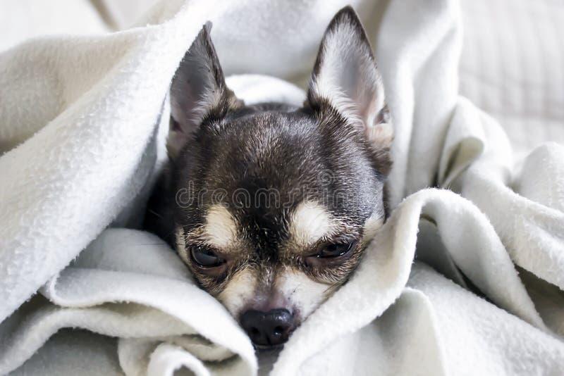 Een snoepje weinig hondchihuahua stock foto
