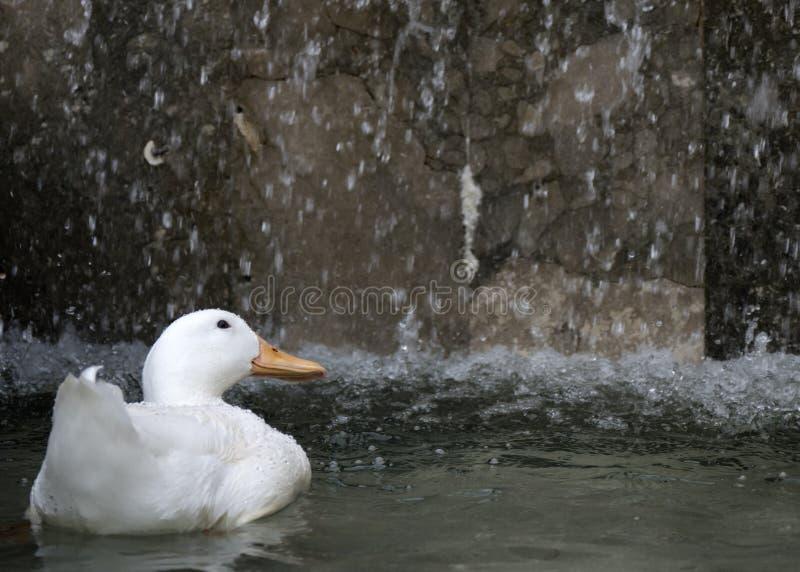Een solitaire eend onder een waterval royalty-vrije stock foto