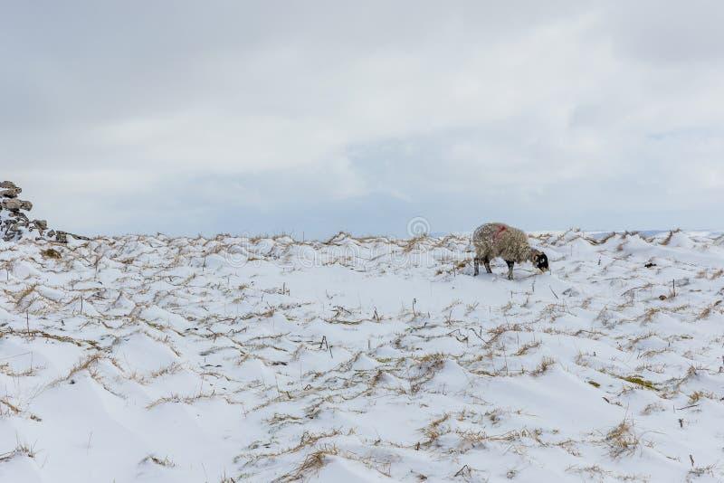 Een solitaire Swaledale-Ooi in de Dallen van Yorkshire in winters weer royalty-vrije stock afbeelding