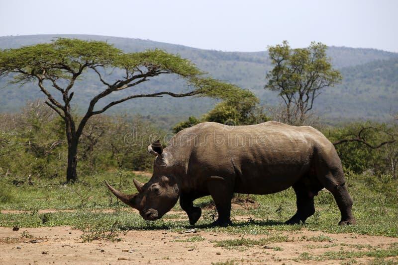 Een solitaire witte rinoceros in NP, Afrika royalty-vrije stock afbeelding