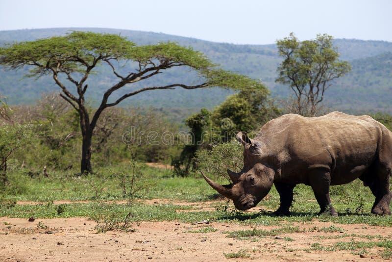 Een solitaire witte rinoceros in NP, Afrika stock afbeeldingen