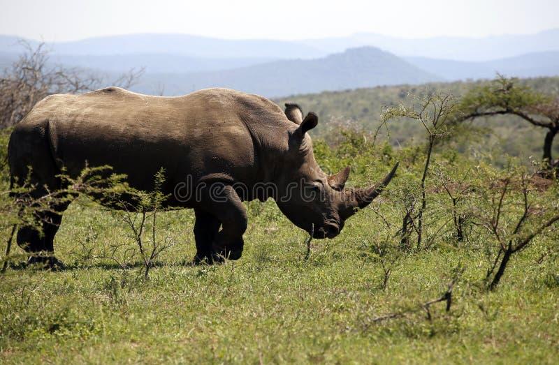 Een solitaire witte rinoceros in NP, Afrika royalty-vrije stock foto's