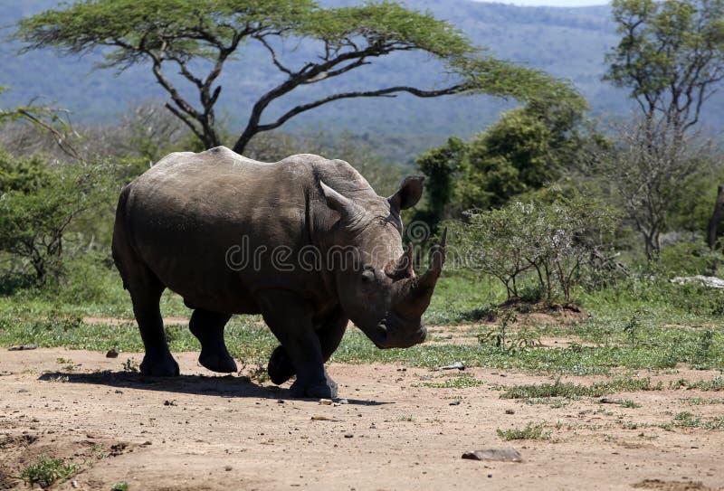 Een solitaire witte rinoceros in NP, Afrika stock afbeelding