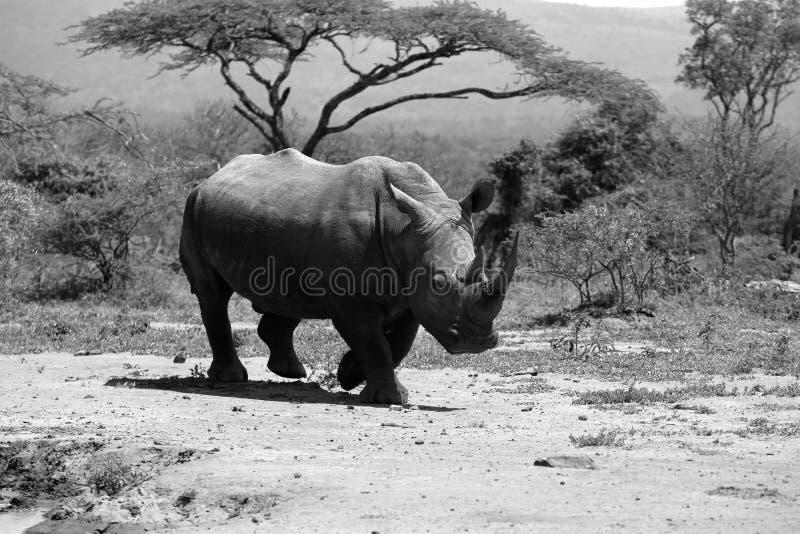 Een solitaire witte rinoceros in NP, Afrika royalty-vrije stock afbeeldingen