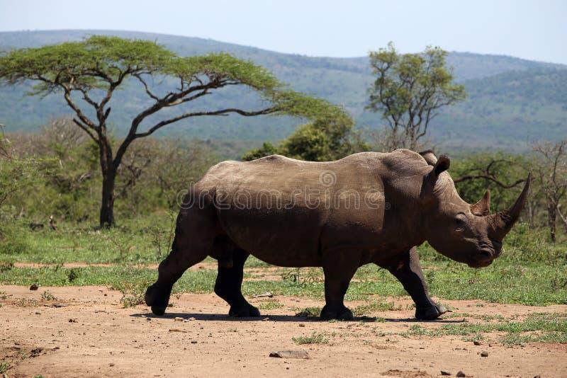 Een solitaire witte rinoceros in NP, Afrika stock foto's