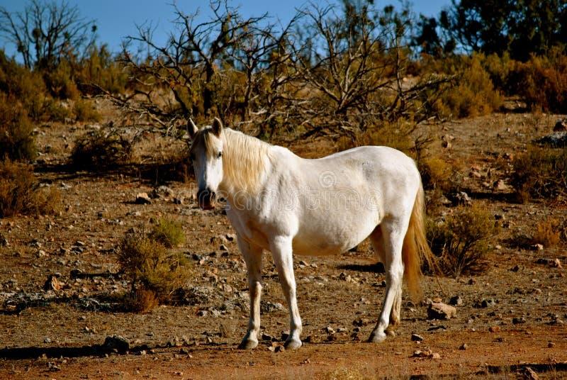 Een Spaans paard stock fotografie