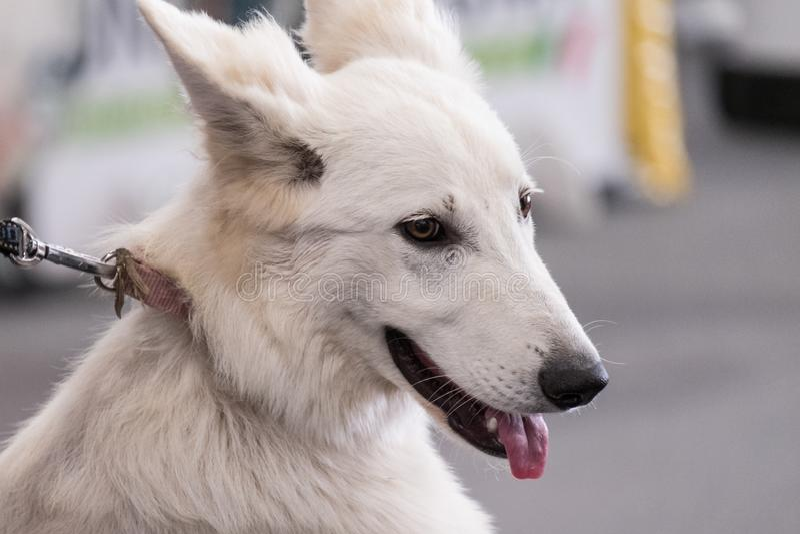 Een specimen van Zwitserse Witte die Herder, van de Duitse herder is gedaald stock foto