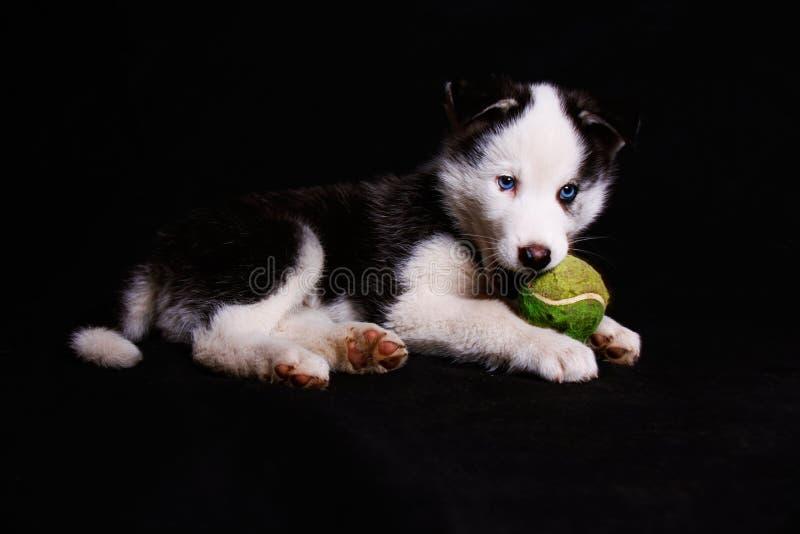 Een speelse, zoete puppy Siberische schor hond met blauwe ogen royalty-vrije stock foto's