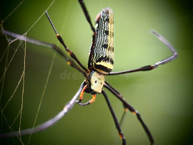 Een spin op Web in Baan Grang, Kangkrachan-bos, Petchburi royalty-vrije stock fotografie