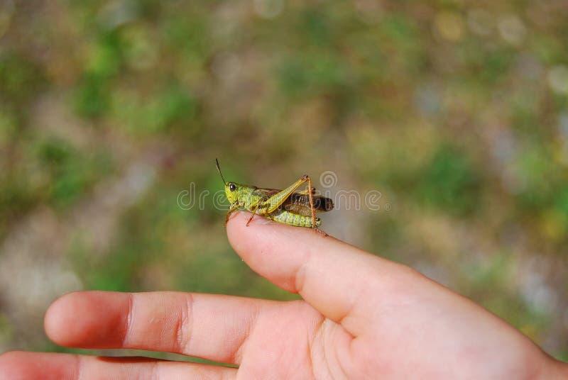 Een sprinkhaan op een hand stock foto