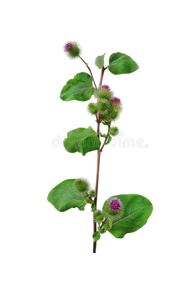 Een steel, een roze bloem van een raapblad, een het helen klis op een witte canvasachtergrond Hoogste mening, close-up Malplaatje royalty-vrije stock fotografie