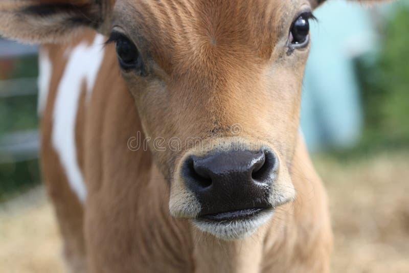 Een stierkalf van Jersey in Nieuw Zeeland. royalty-vrije stock foto's