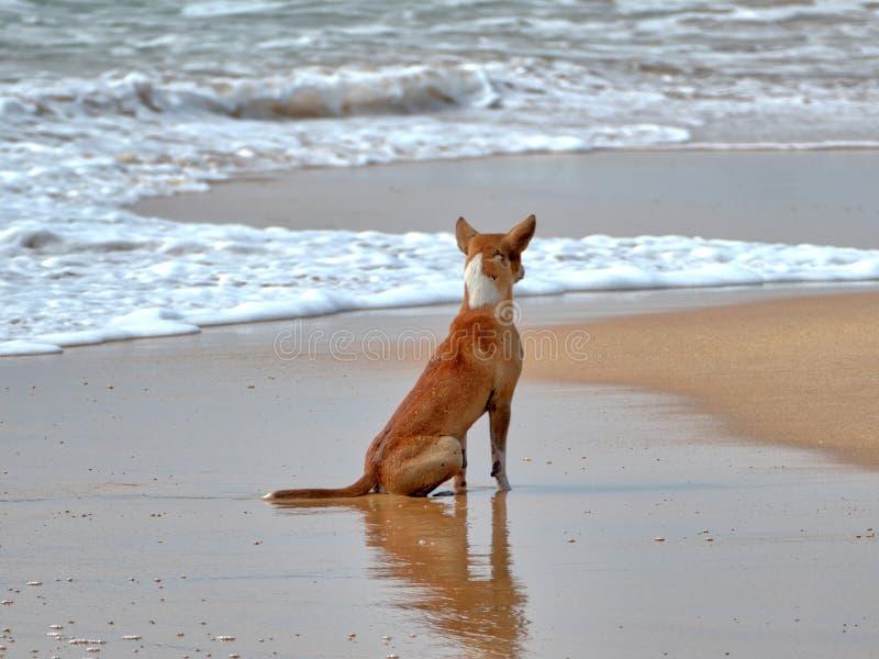 Een strandhond zit op het strand in de golven van de Indische Oceaan royalty-vrije stock foto's