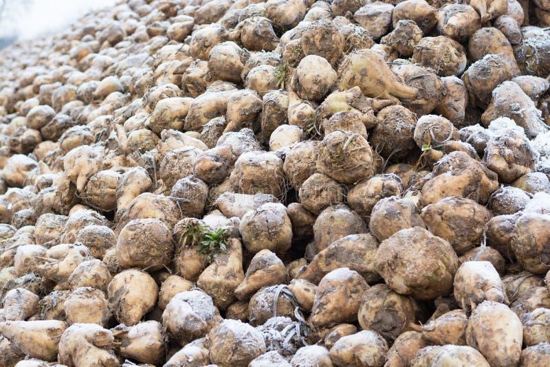 Een streepje van suikerbiet op het gebied in de Winter stock foto's