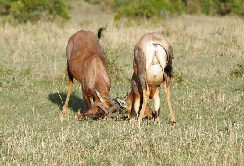 Download Een Strijd Tussen Twee Topi-antilopen Stock Foto - Afbeelding bestaande uit weide, verlengd: 39102490
