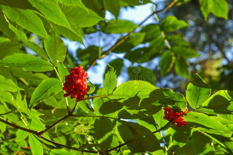 Een struik met rode bosbessen op een tak met groene bladeren stock afbeelding