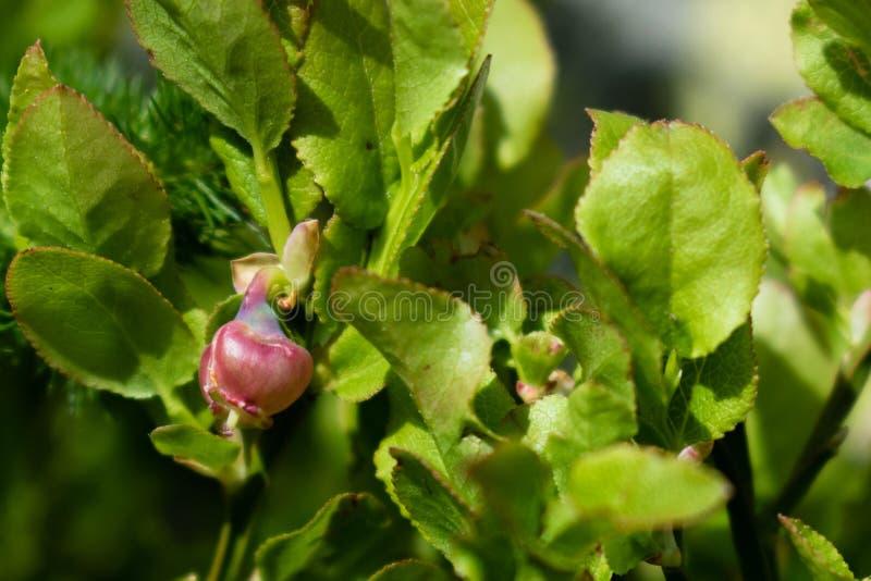 Een struik van Europese het bloeien bosbessenvaccinium uliginosum in Andorra Bloem van bosbes royalty-vrije stock fotografie