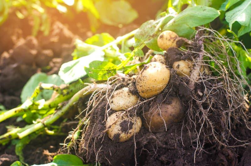 een struik van jonge gele aardappels, het oogsten, verse groenten, agro-cultuur, de landbouw, close-up, goede oogst, detox, veget royalty-vrije stock afbeeldingen