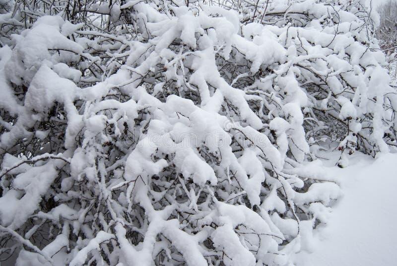 Een struik van wilde die rozebottels met sneeuw worden behandeld stock afbeeldingen