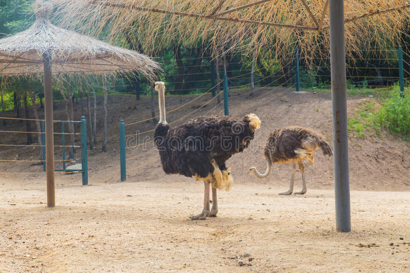 Een Struisvogel royalty-vrije stock foto's
