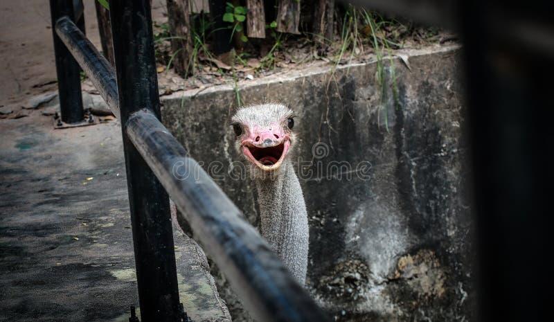 Een struisvogel in de dierentuin stock afbeeldingen