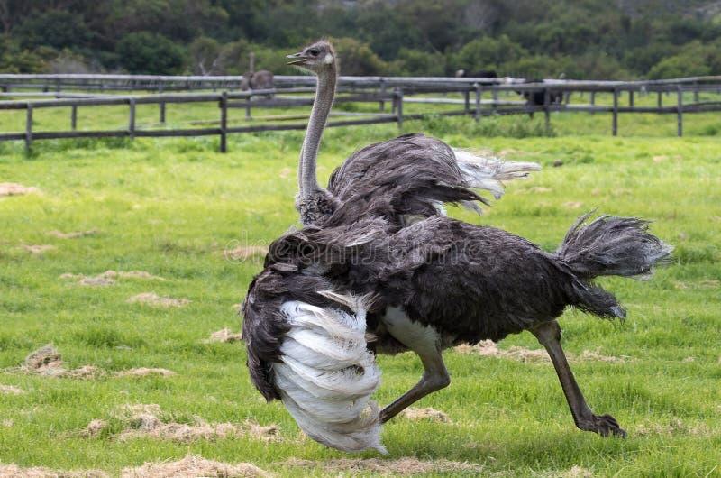 Een struisvogel die in een struisvogellandbouwbedrijf lopen die in Zuid-Afrika wordt gefotografeerd stock foto's