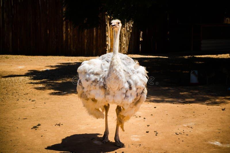 Een struisvogel op een landbouwbedrijf in Oudshoorn stock afbeeldingen