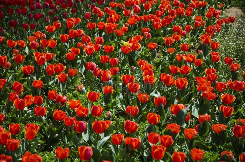 Een stuk rode tulpen royalty-vrije stock afbeeldingen