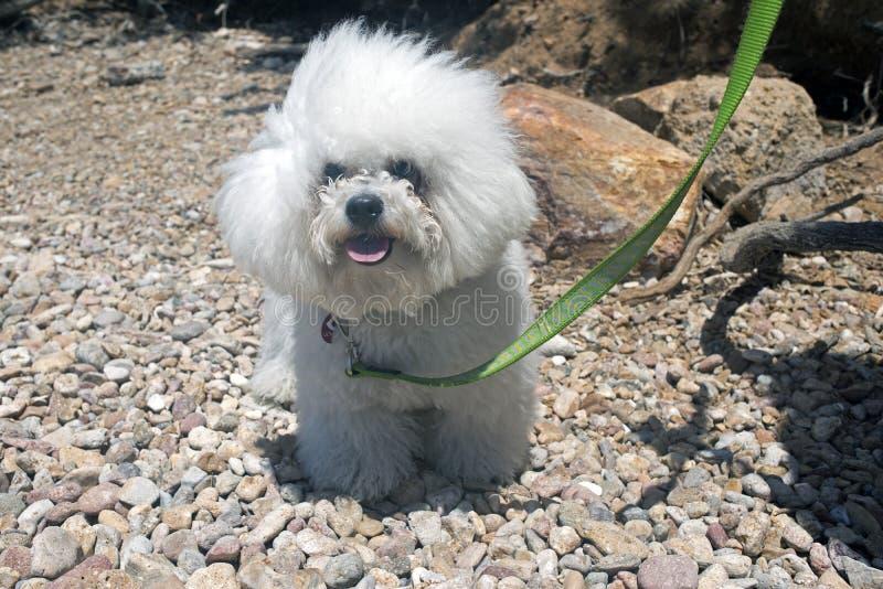 Een super leuke bolognese rassenhond zoals een stuk speelgoed bij het strand in de zomertijd stock afbeelding