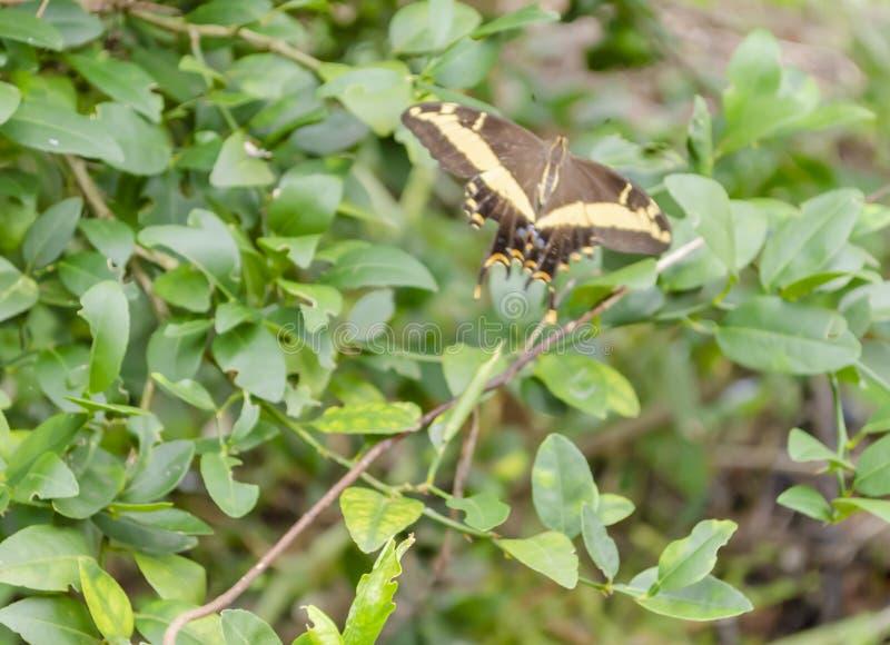 Een Swallowtail-Vlinder tijdens de vlucht stock foto