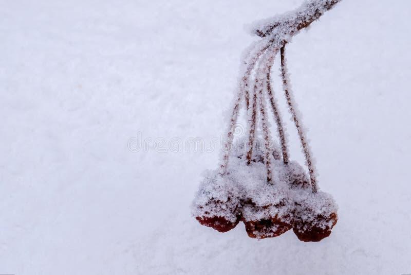 Een tak met bevroren die bessen, met rijp tegen een achtergrond van sneeuw worden behandeld Het concept van de winter Het vermind royalty-vrije stock afbeeldingen