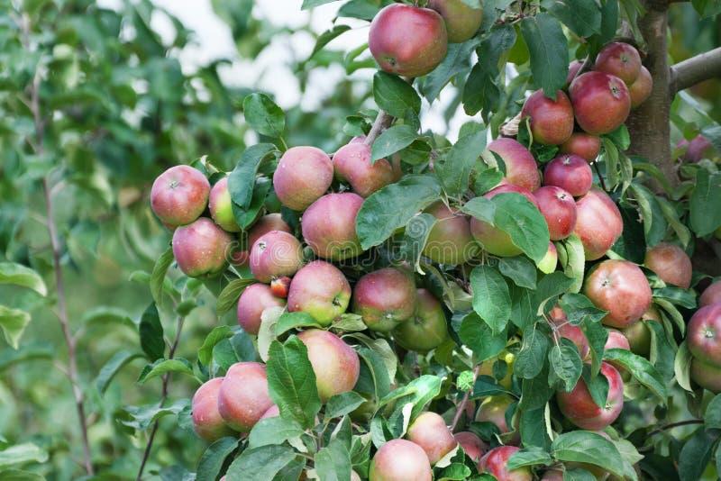 Download Een tak met rode appelen stock foto. Afbeelding bestaande uit fotografie - 29513196