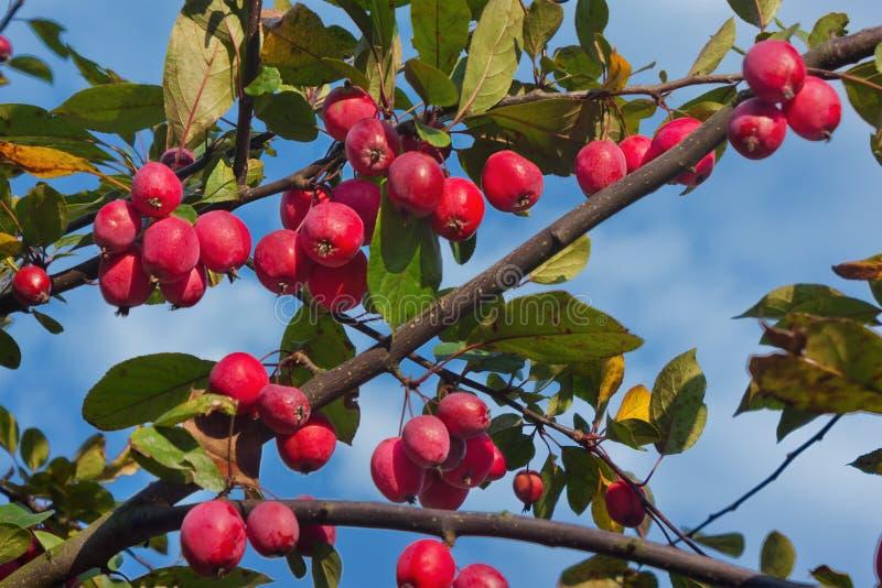Een tak met rode rijpe appelen royalty-vrije stock foto