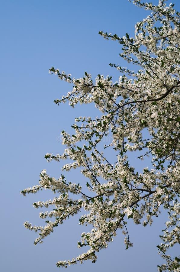 Een tak met witte bloemen van reine-claude of damastpruimpruimboom royalty-vrije stock fotografie