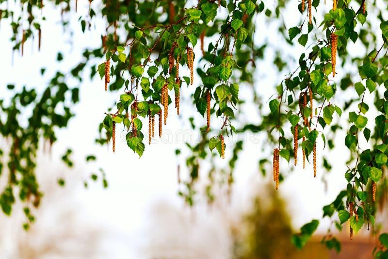 Een tak van berk met oorringen Achtergrond stock fotografie