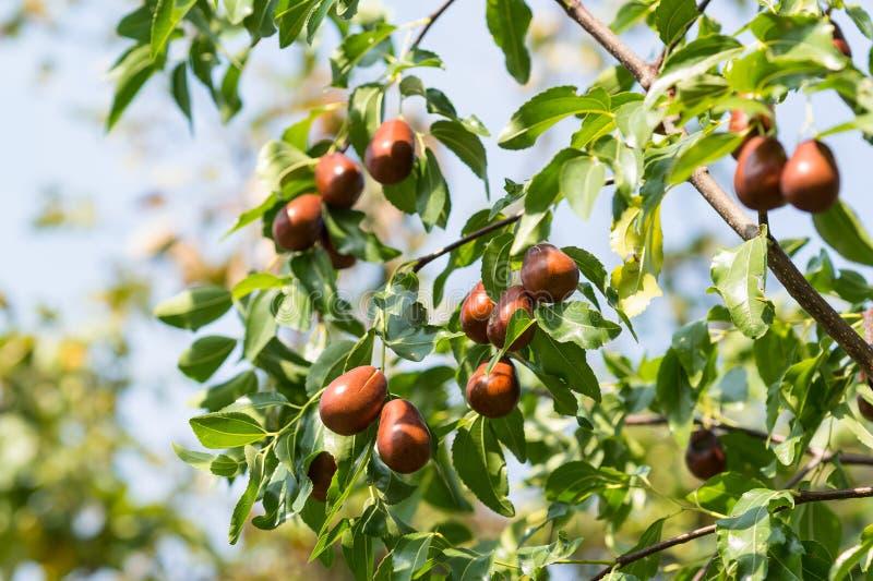 Een tak van de jujube-goed oogst lat Ziziphusjujuba royalty-vrije stock foto's