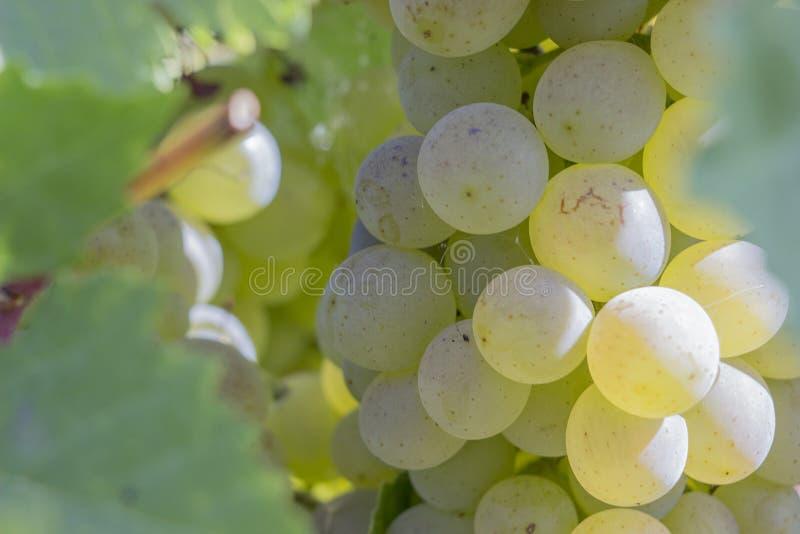 Een tak van druiven op een Zonnige dag vóór oogst royalty-vrije stock foto