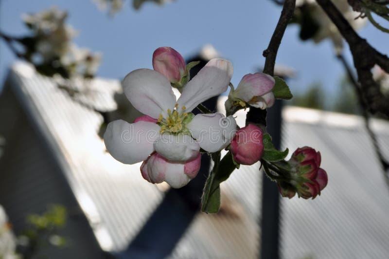 Een tak van een boom van de de lente tot bloei komende appel stock afbeeldingen