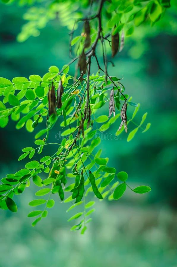 Een tak van groene acacia hangt van hierboven in de voorgrond Vage achtergrond Het schieten op oogniveau Selectieve nadruk Macro stock foto