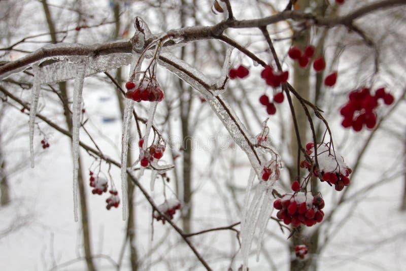 Een tak van Lijsterbessenbessen in de winter stock foto