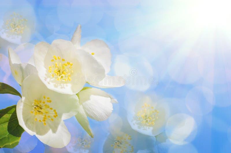 Een tak van mooie witte jasmijn bloeit tegen een heldere blauwe hemel Mooie natuurlijke achtergrond Exemplaar-ruimte voor tekst stock fotografie