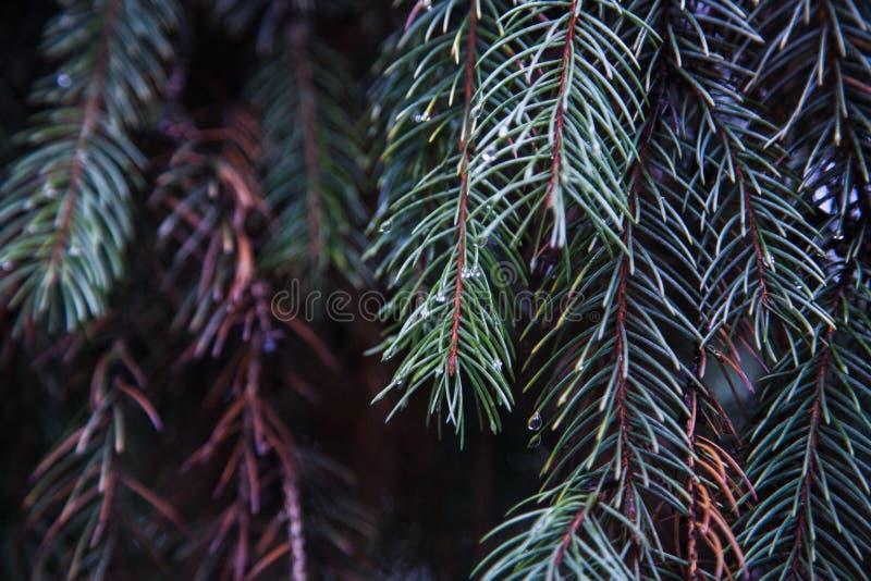 Een tak van pijnboom in de regen stock foto